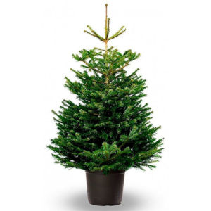 Natural fir tree