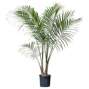 Home Date Palm