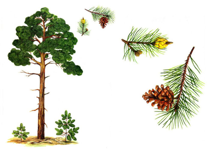 Causes of Pine Allergy